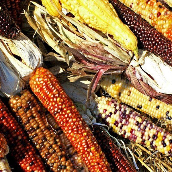 corn-1235895_1920